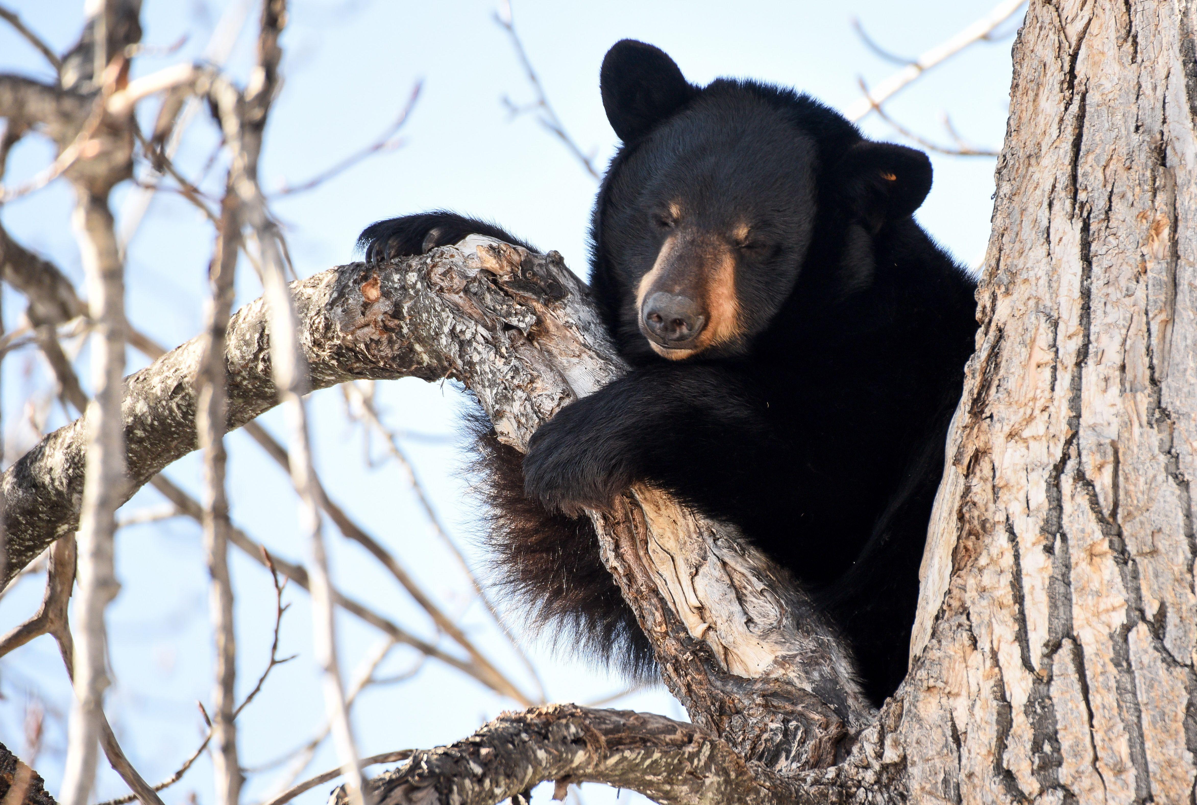Glacier National Park Cameras Capture a Black Bear Waking Up From Hibernation | Mental Floss