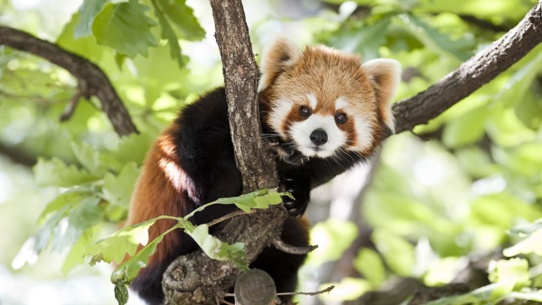 Virginia Zoo Is Auctioning Off the Chance to Name Its New Red Panda Triplets