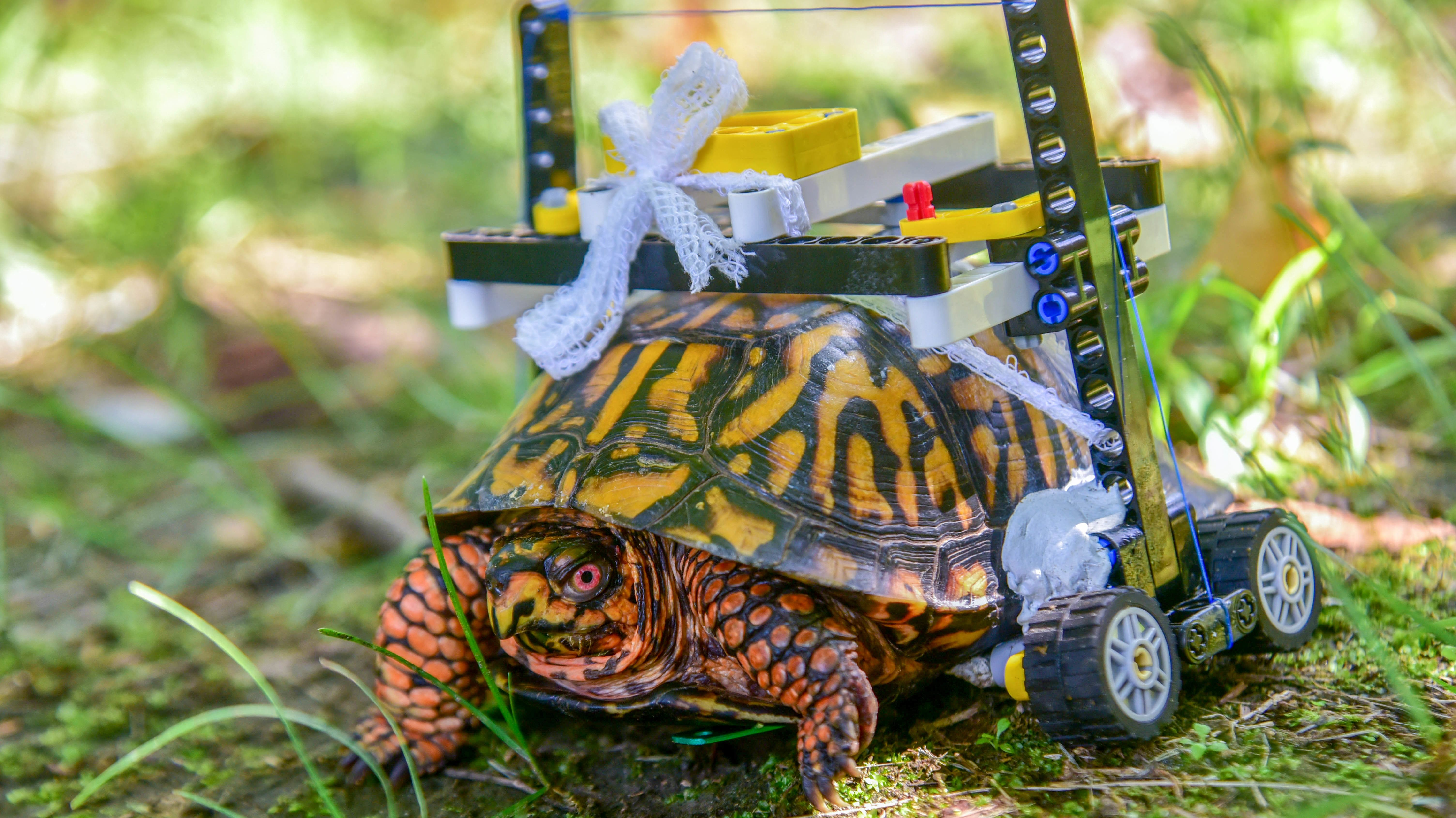 LEGO Wheelchair Gives Injured Turtle at Maryland Zoo a