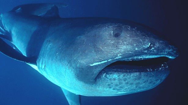 Diver Films Rare Megamouth Shark Swimming Off the Coast of Indonesia - Mental Floss