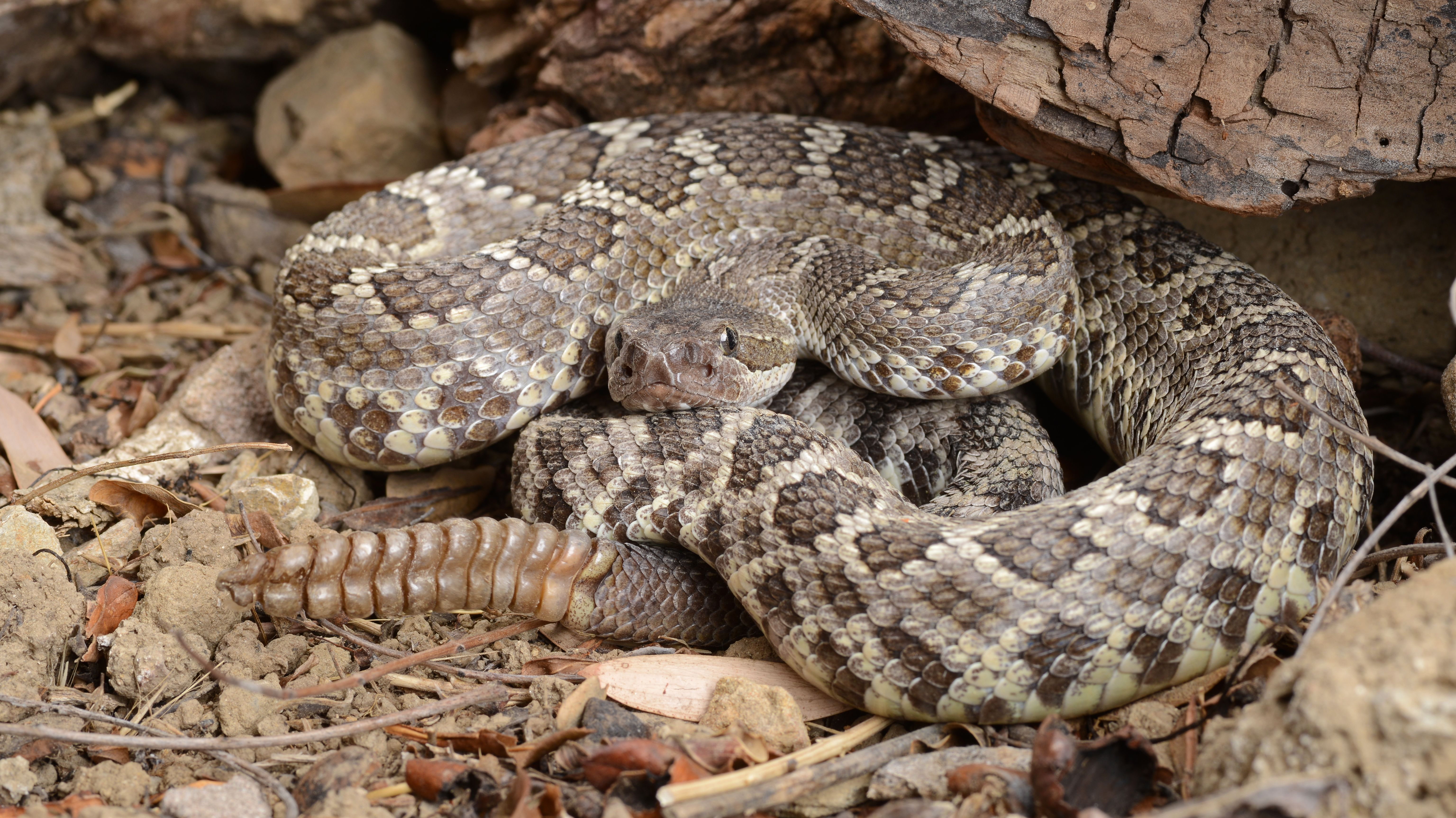 12 Things You Should Know About Rattlesnakes | Mental Floss