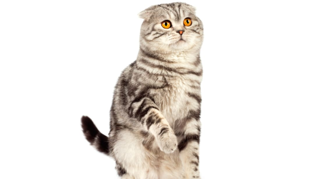 Scottish Fold Cat Facts Mental Floss