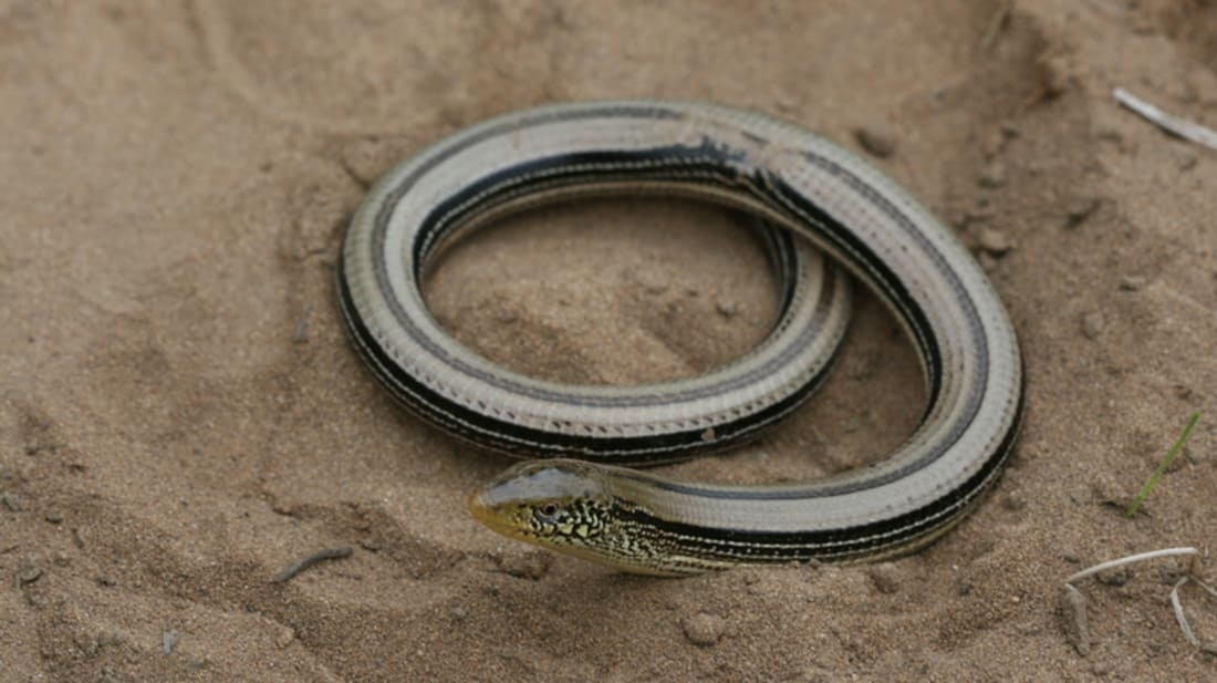 5 Differences Between Snakes and Legless Lizards | Mental Floss