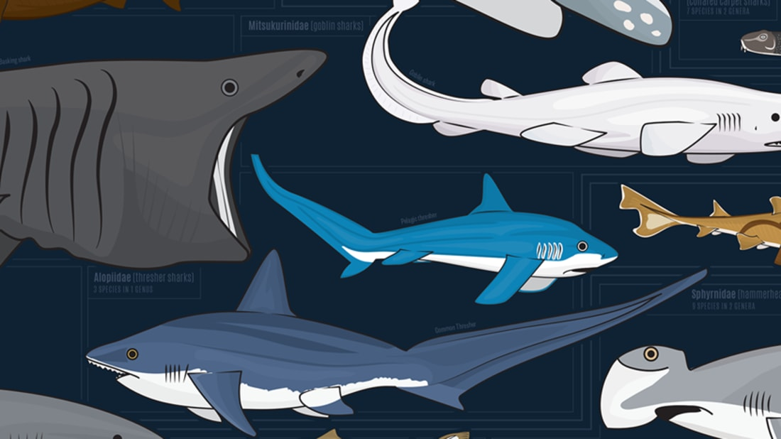 This Wall Chart Shows Almost 130 Species of Shark—All Drawn