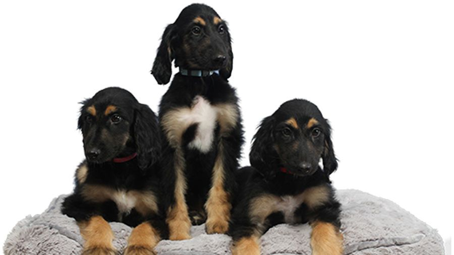 Scientists Create Three Puppy Clones of 'Snuppy,' the World's First Cloned Dog - Mental Floss