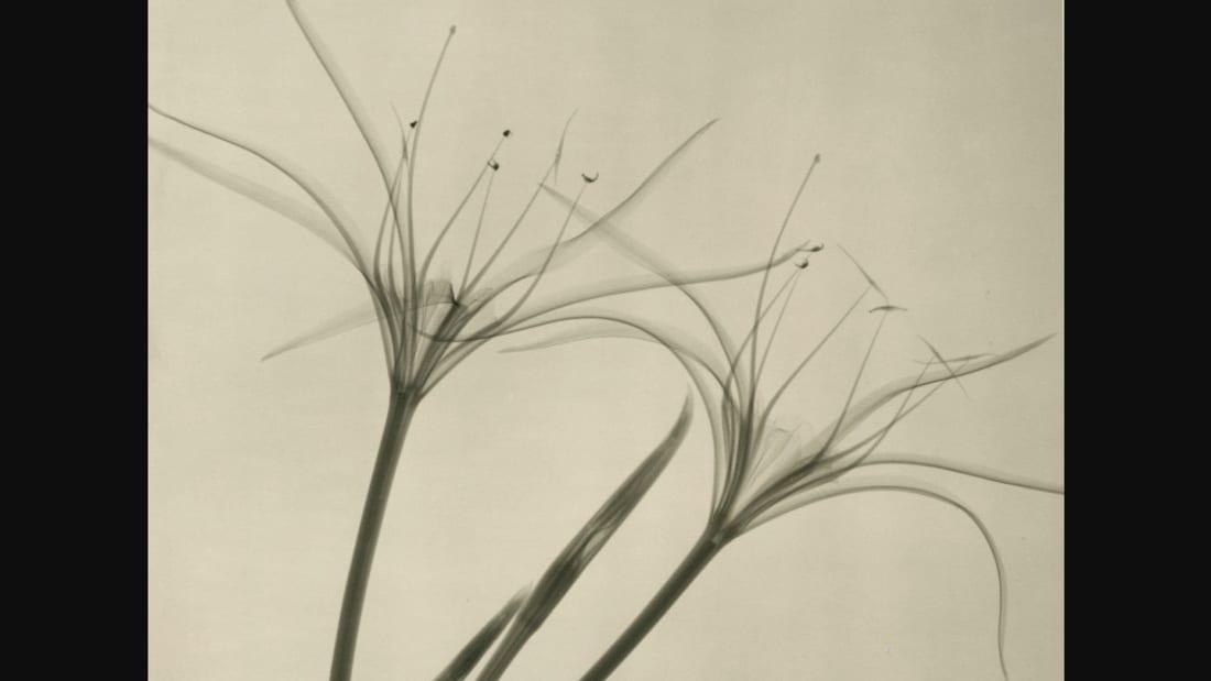 """Dr. Dain L. Tasker, """"Peruvian Daffodil"""" (1938)"""