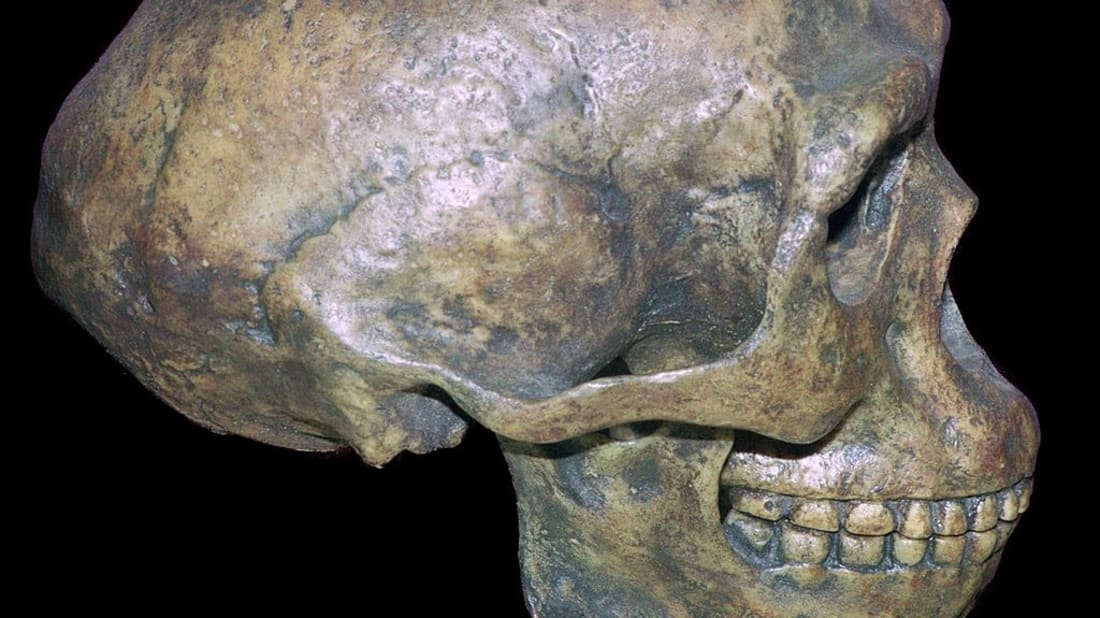A reconstruction of the skull of Peking man (Homo erectus pekinensis)