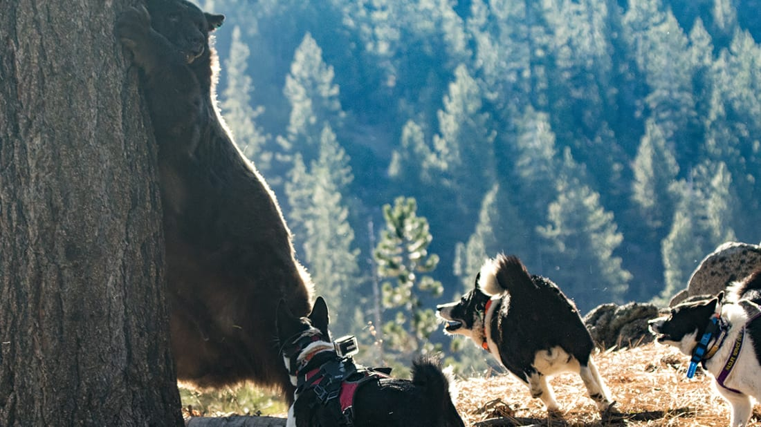 How Karelian Bear Dogs Are Keeping Wildlife Out of Harm's Way