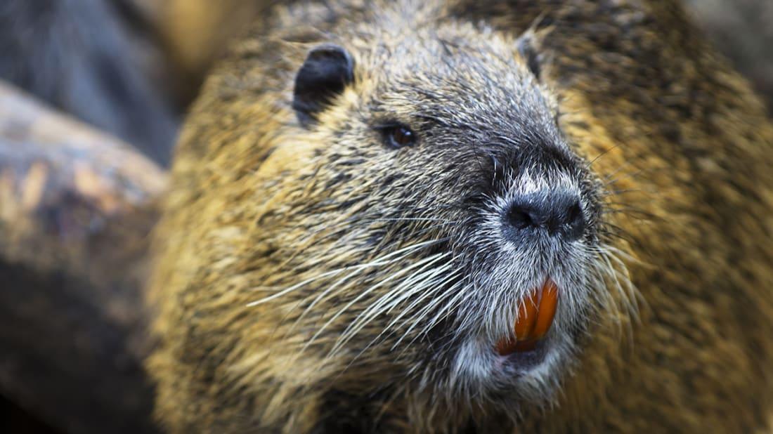 A Brief History of Castoreum, the Beaver Butt Secretion Used