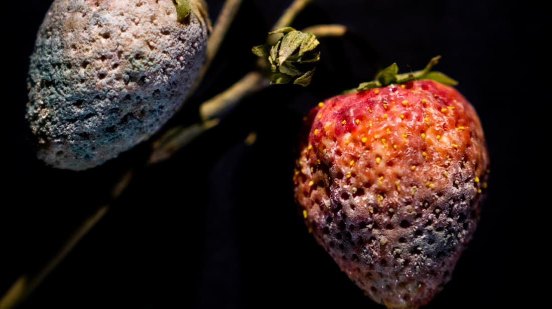 Strawberry with Penicillium sp. mold, Rudolf Blaschka, 1929