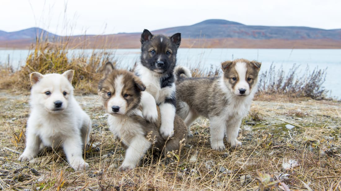 Denali National Park's Sled Dog Puppycam Is About to Become Your New Obsession