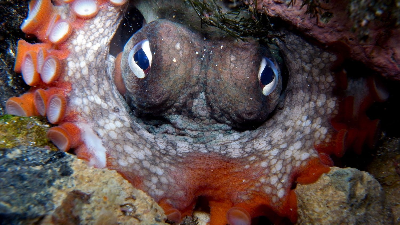 Scientists Discover 'Octlantis,' a Bustling Octopus City - Mental Floss