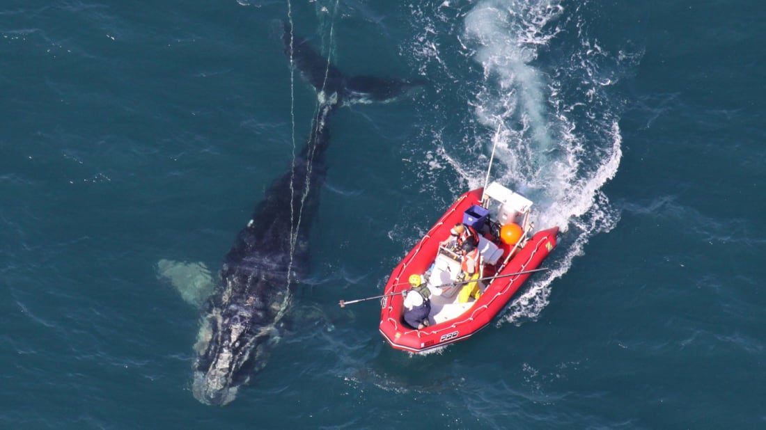 NOAA Fisheries Service scientists disentangle a young North Atlantic right whale off the coast Florida.