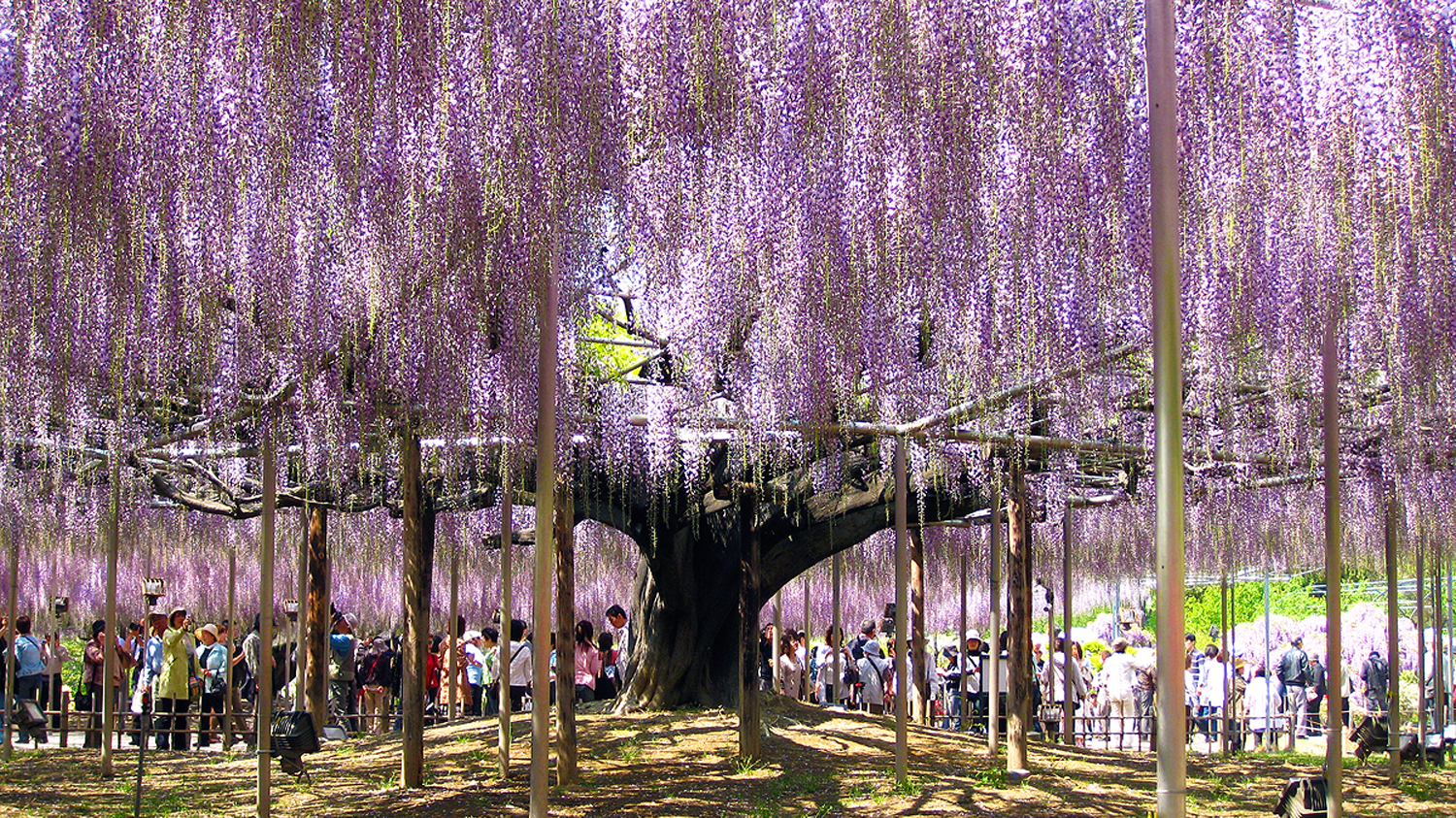 This Flower Park Is Home To The Oldest Wisteria Plant In Japan