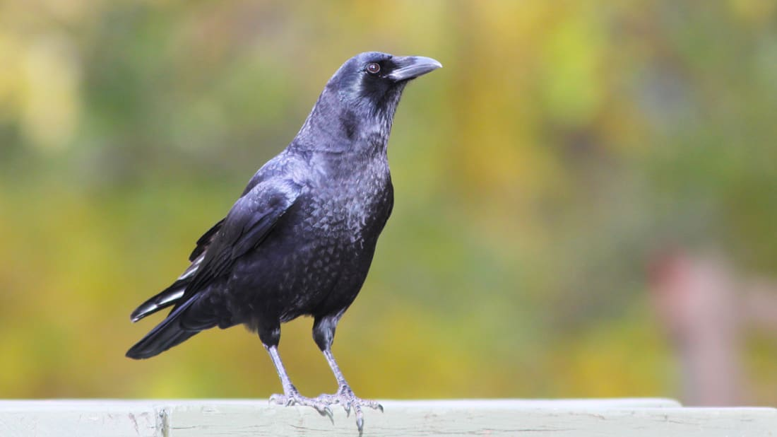 Why Bird Brain Shouldnt Be Considered >> 12 Fascinating Facts About Crows Mental Floss