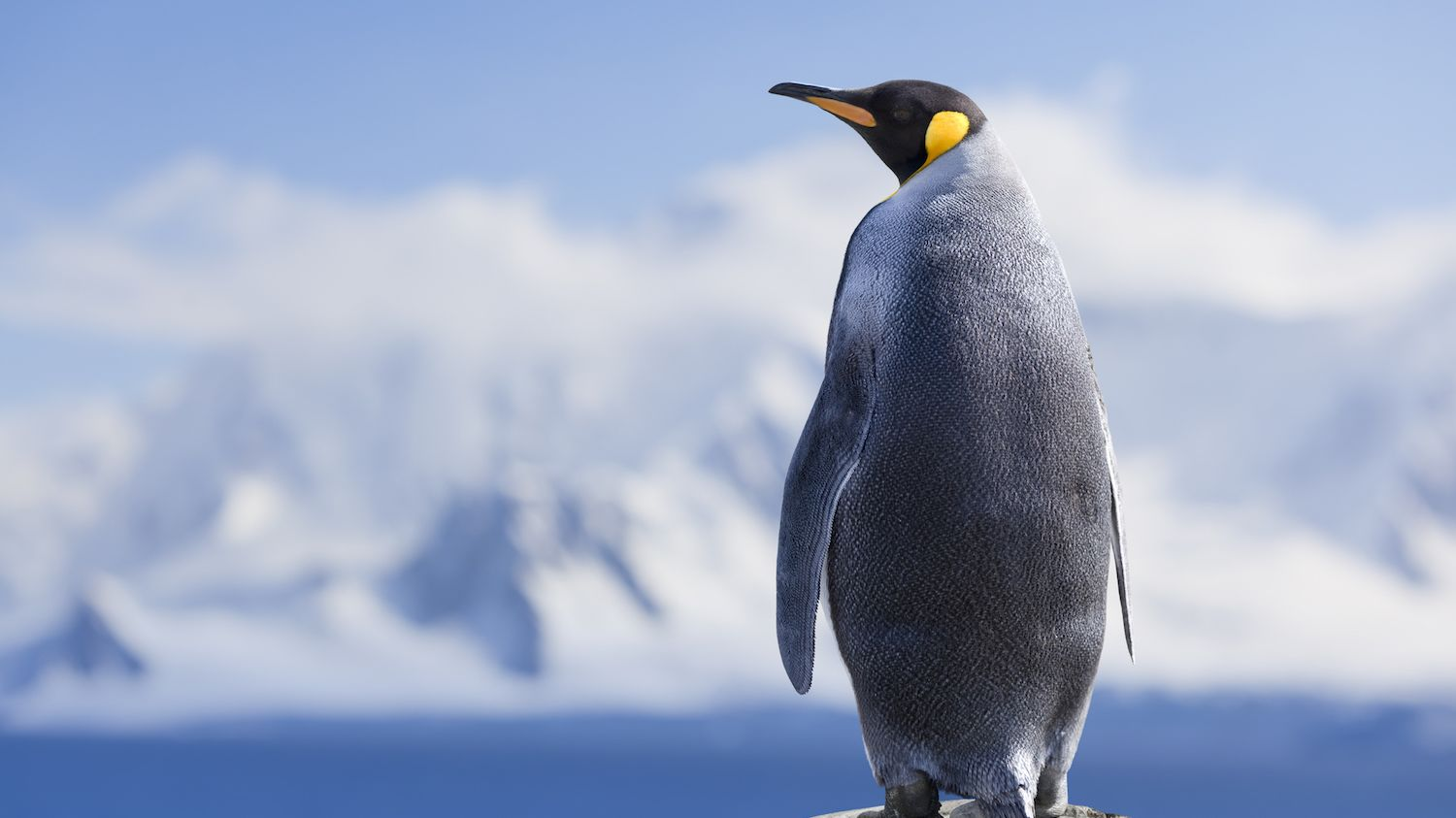 Extinct Penguin Species Was the Size of an Adult Human - Mental Floss