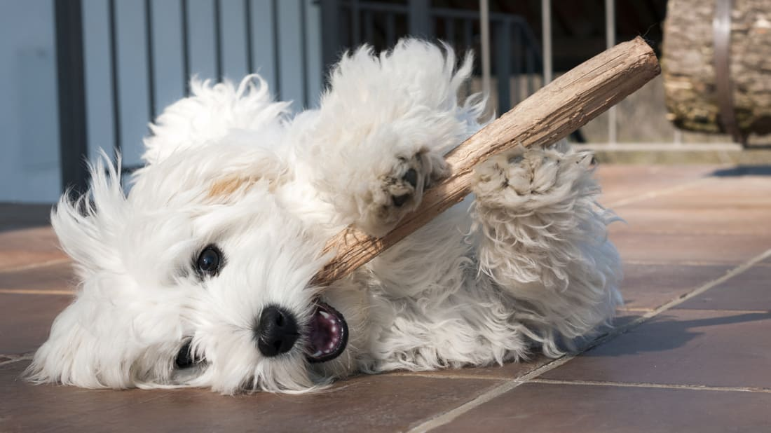 Why Is My Dog Obsessed With Chew Toys? | Mental Floss
