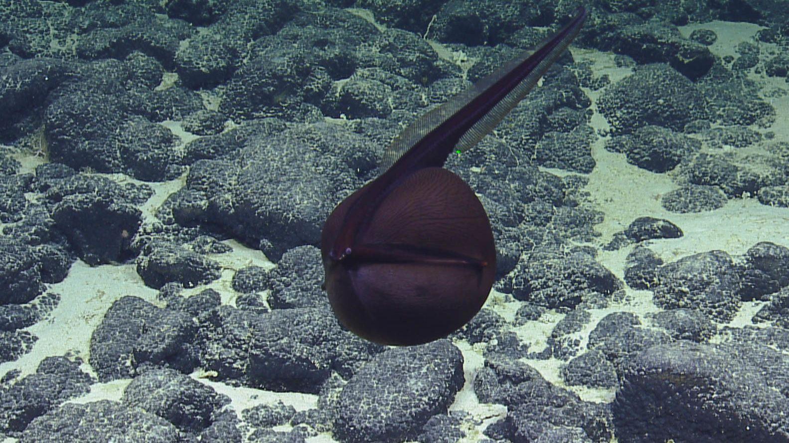 Watch a Gulper Eel Inflate Like a Terrifying Balloon - Mental Floss