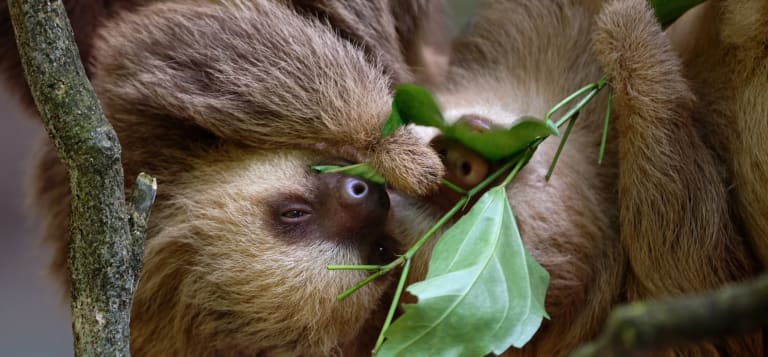 Two-toed sloths on a tree in Costa Rica.