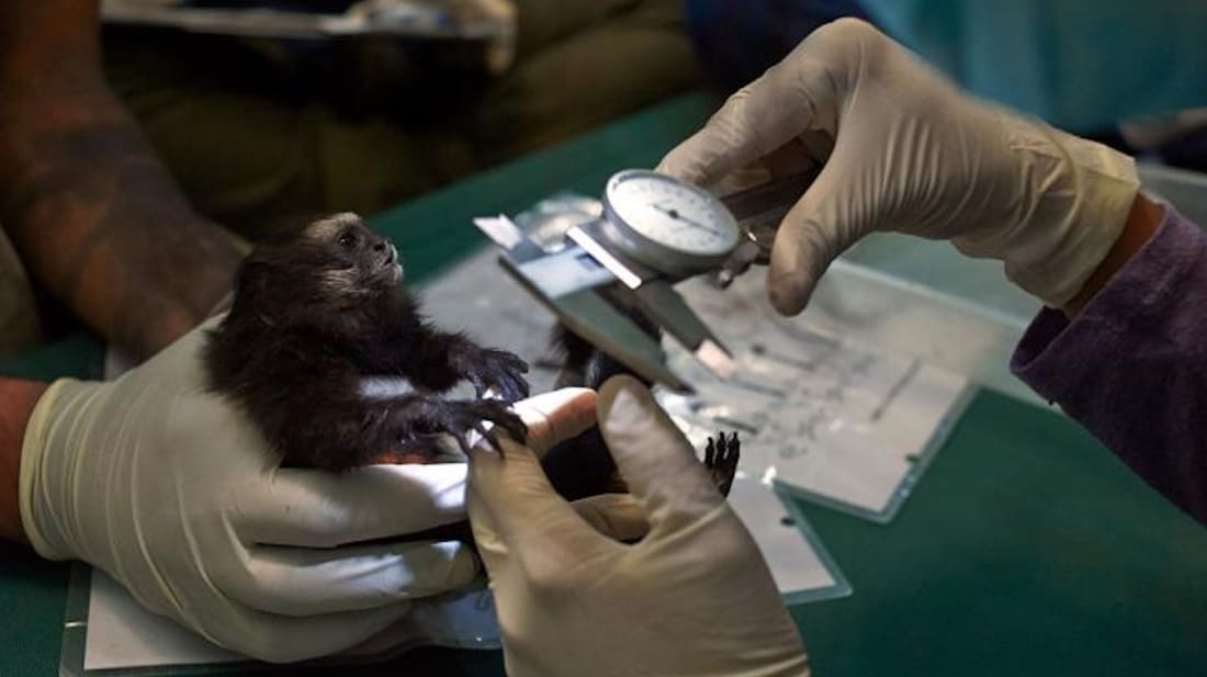 A juvenile saddleback tamarin is measured as part of an annual health check of a population of three primate species in southeastern Peru.