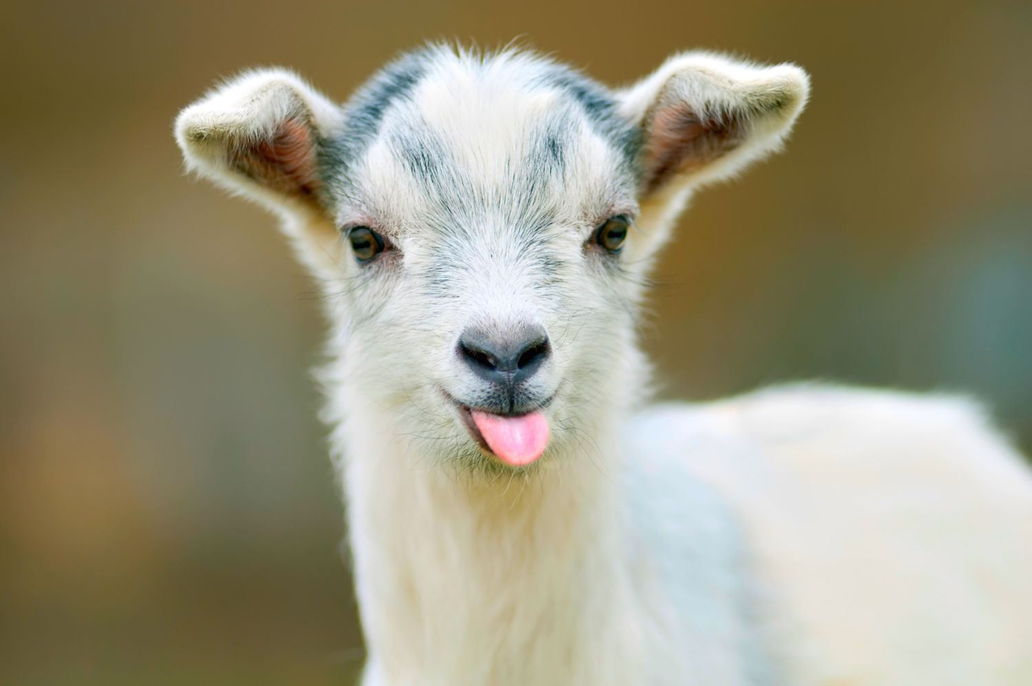 15 Amazing Things You Probably Didn T Know About Goats Mental Floss