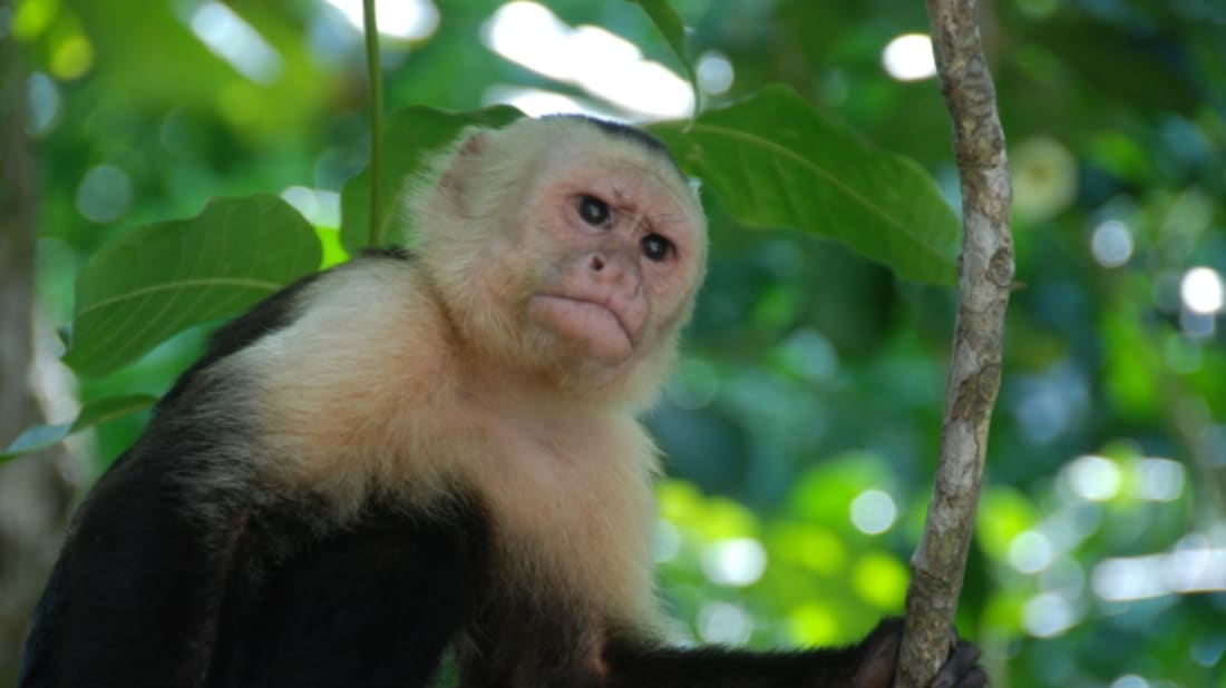 Monkeys Use Mosquito Repellent, Too - Mental Floss Monkeys Use Mosquito Repellent, Too - 웹