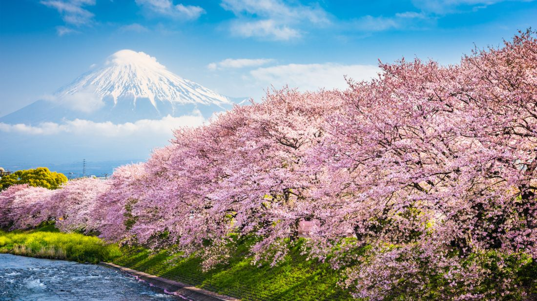10 Amazing Facts About Cherry Blossoms