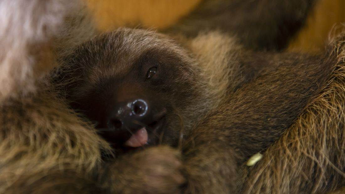 New Baby Sloth at Zoo Atlanta Will be Named by the Internet