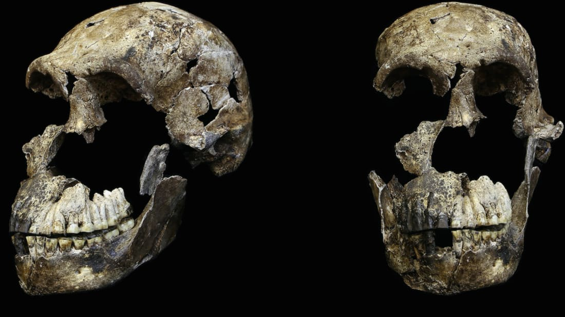 Two views of an adult Homo naledi cranium found in the Lesedi Chamber of the Rising Star cave system in South Africa, where the remains of 15 individuals were discovered in a different cave in 2013.