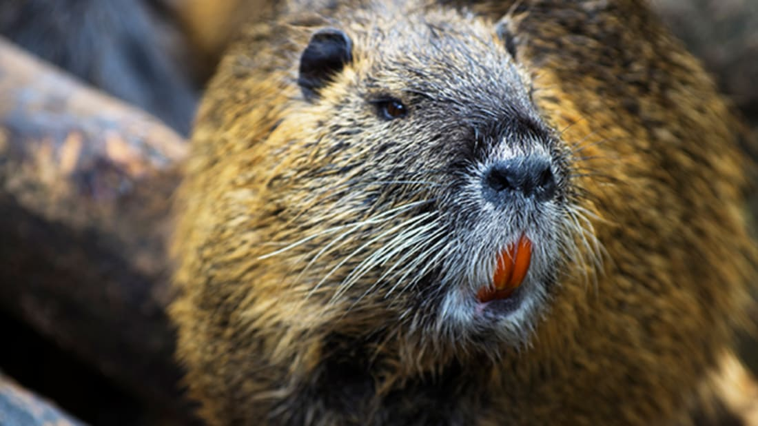 Canadian Animal Services Officers Rescue Pudgy Beaver Stuck in Fence   Mental Floss