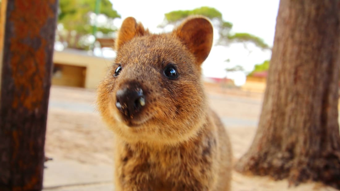 Marsupial Quokka 6 Things to Know About...