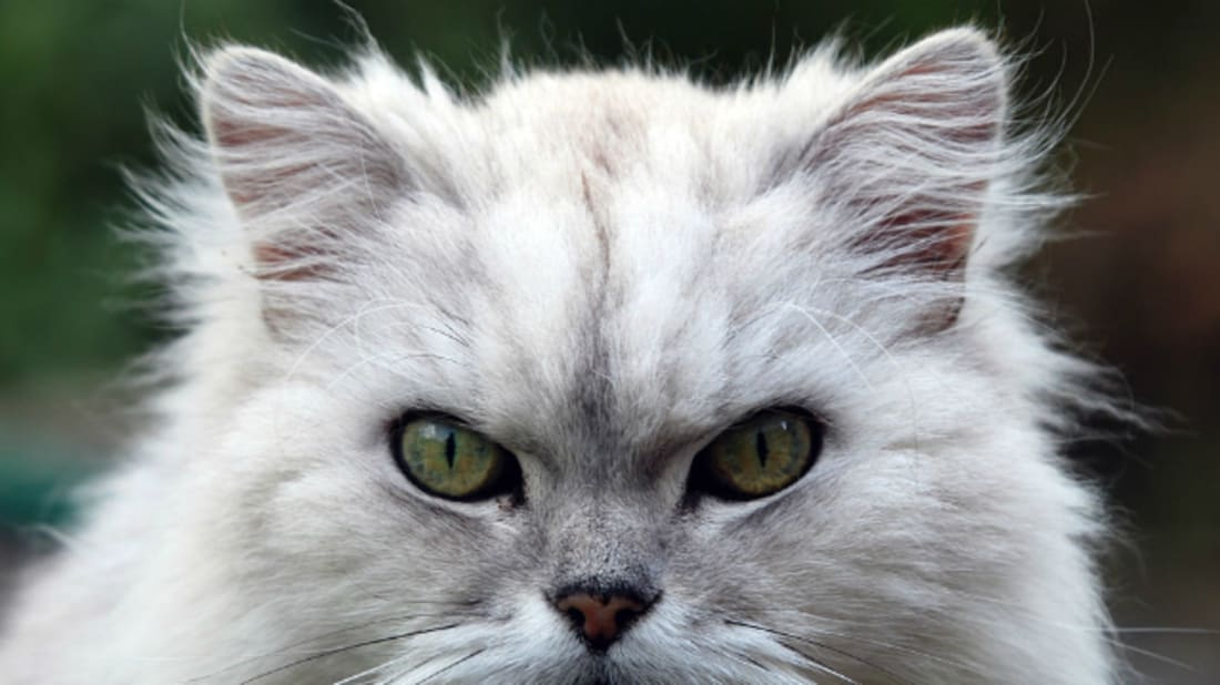 Fat Cat via Wikimedia Commons // CC BY-SA 2.0