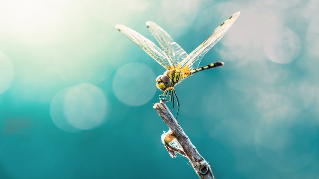 25 Dramatic Dragonfly Nicknames From Around the U S  | Mental Floss