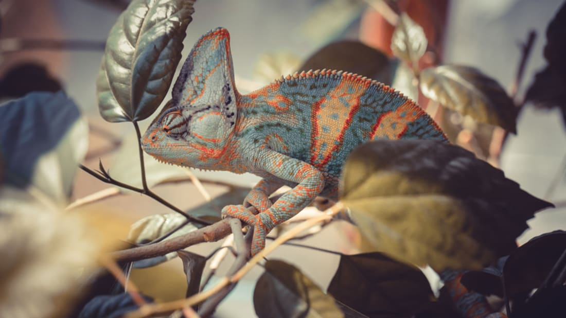 275526facf3 10 Colorful Facts About Chameleons