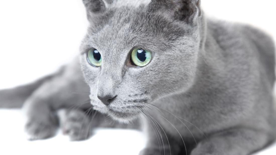 8 Elegant Facts About Russian Blue Cats