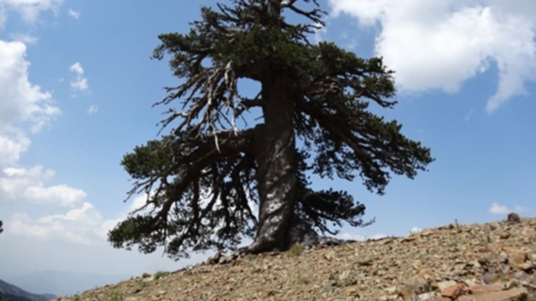 Europe's Oldest Living Resident Is This Pine Tree in Greece