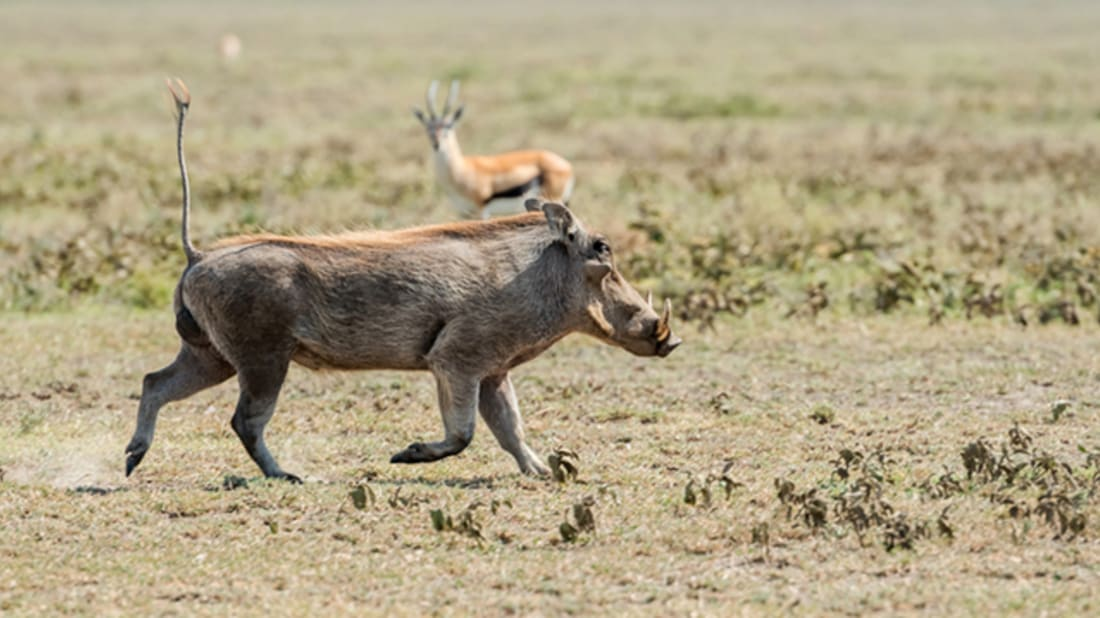 Warthog via iStock