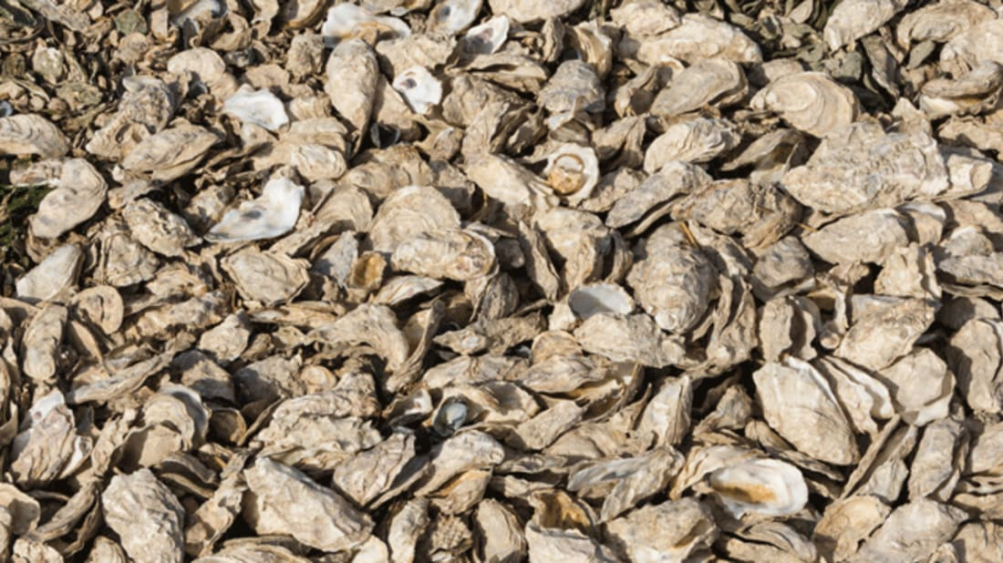 A Project Gives Restaurant S Leftover Oyster Shells New Life