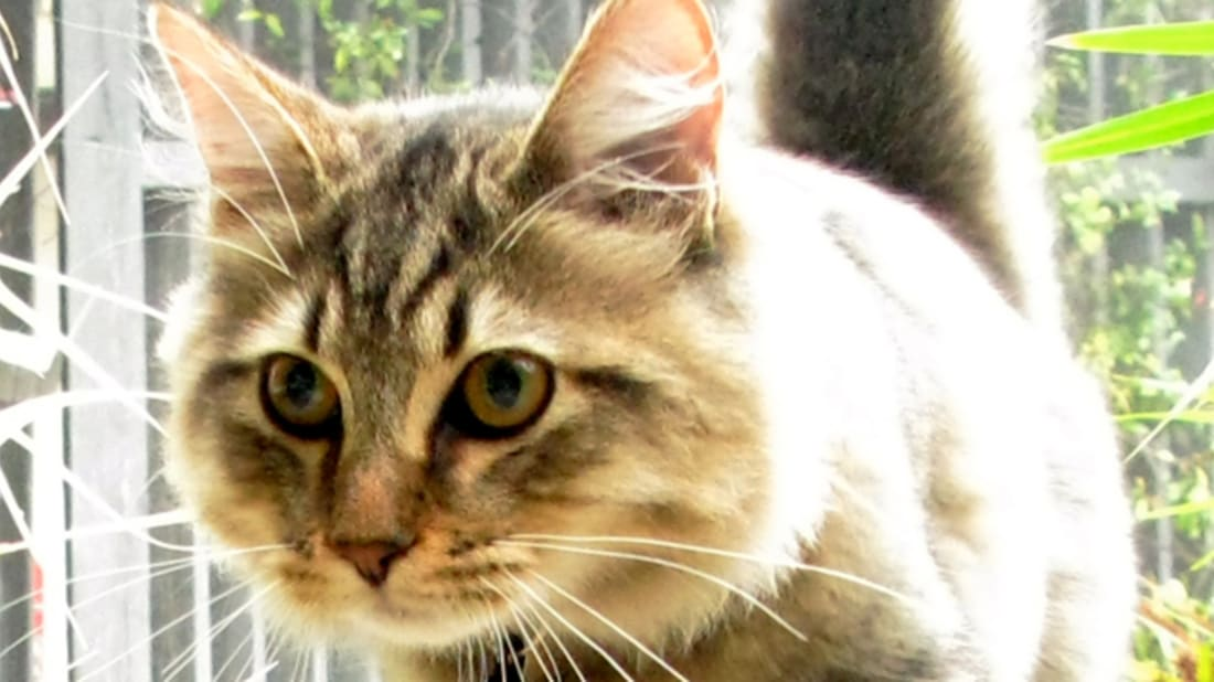 5 Facts About American Bobtail Cats | Mental Floss