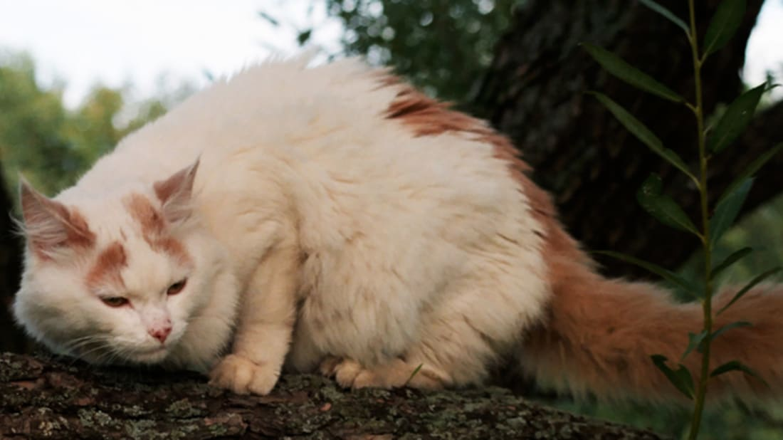 7c7e07d189 7 Facts About Turkish Van Cats