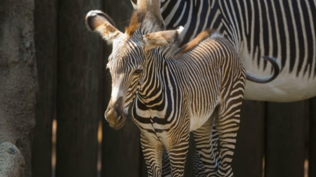 Todd Rosenberg / Lincoln Park Zoo