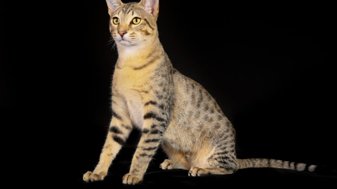 6 Fast Facts About Egyptian Mau Cats | Mental Floss