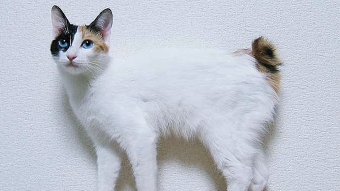 7 Unusual Facts About Japanese Bobtail Cats | Mental Floss