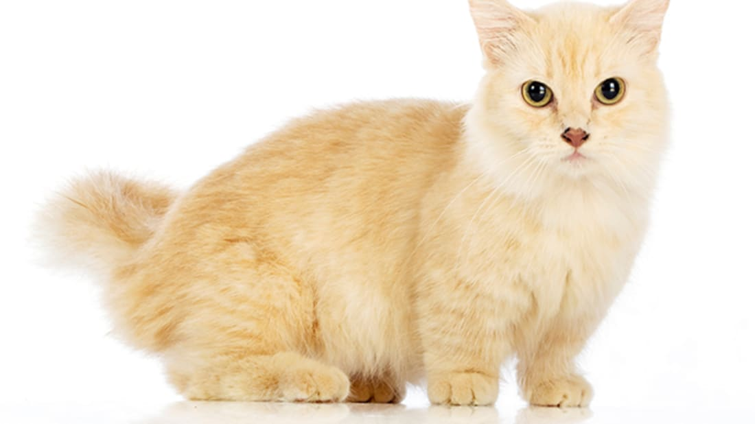 7 Short Facts About Munchkin Cats | Mental Floss