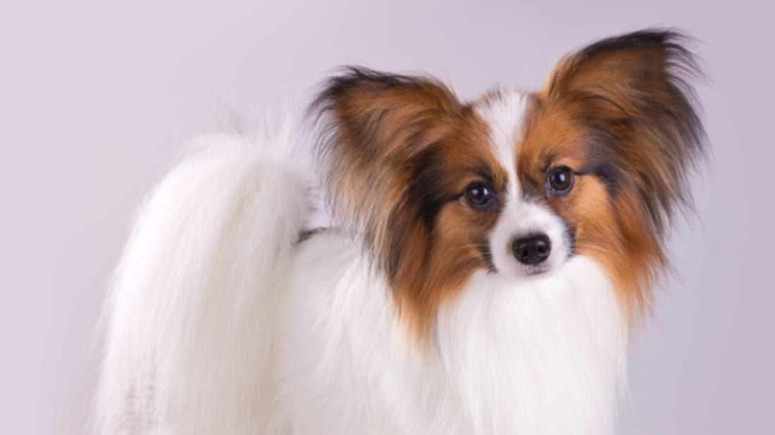10 Fancy Facts About the Papillon | Mental Floss