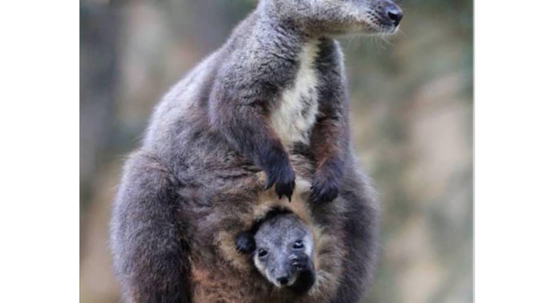 Paul Fahy/Taronga Zoo