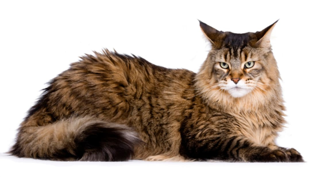 12 Huge Facts About Maine Coons | Mental Floss