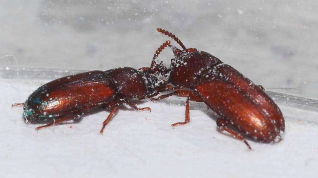Male beetles tussling in their flour-floored gladiator arena. Matthew Silk