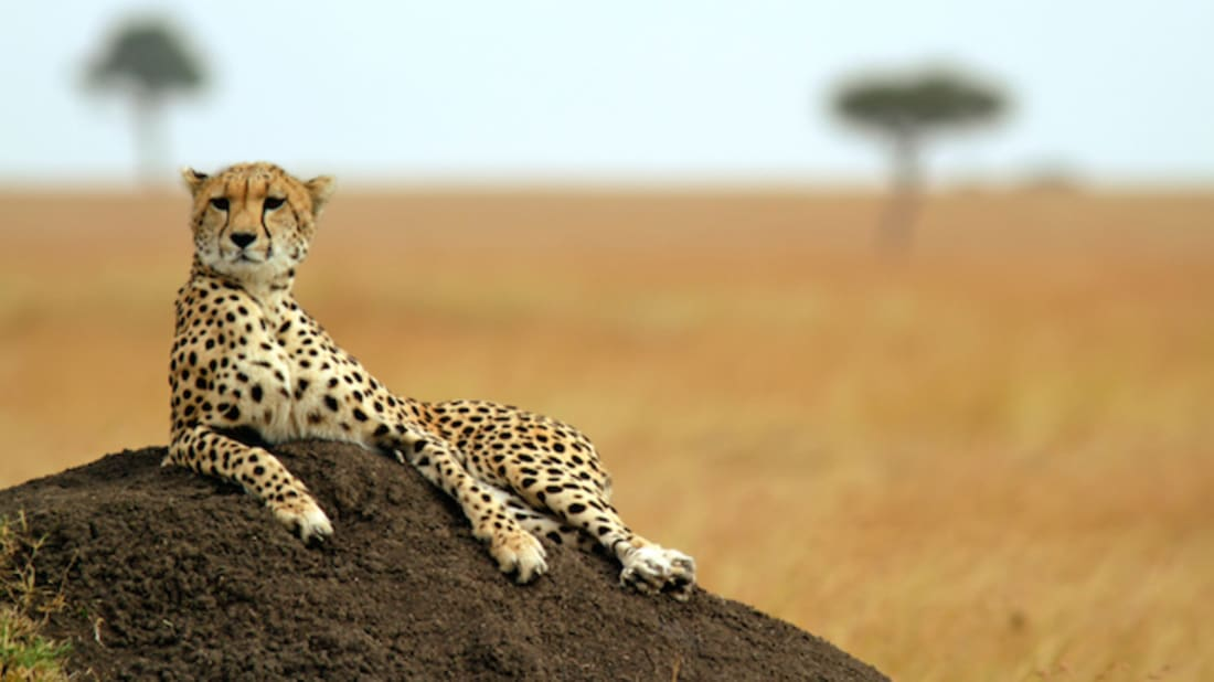 15 Fast Facts About Cheetahs | Mental Floss