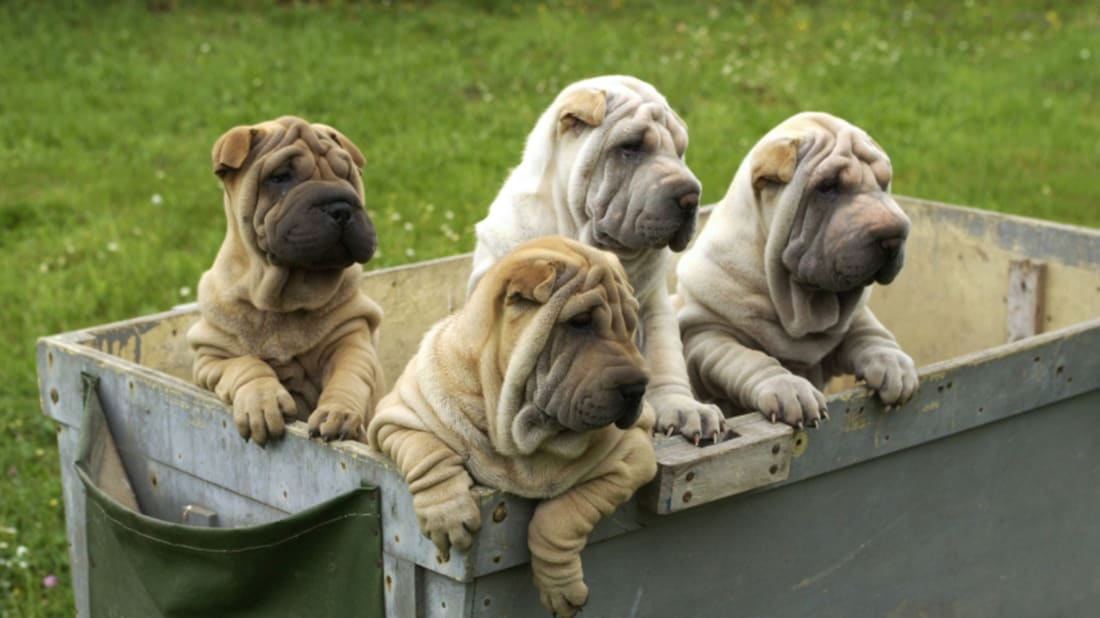 10 Wrinkly Facts About The Shar Pei Mental Floss